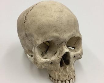 Human Skull Replica, Full size