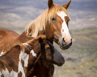 Mustang Stallion Hoot With His Young Colt Pinyon - 12x16 Gallery Wrapped Canvas Print