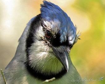 074 - Original Nature Photograph of a Blue Jay - Wall Art, Home Decor, Print