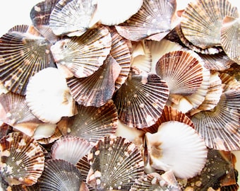 Small Scallop Shells-20 Pieces-Shell Bulk-Seashell Supplies