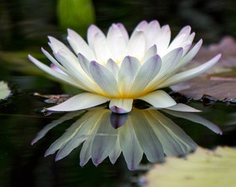 Waterlily print, White Waterlily, Waterlily Photo, White Flower Wall Art, Floral Print, Nature Photography, Waterlily Photography