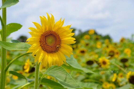 Sunflower Photography Sunflower Wall Art Sunflower Print