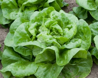 Buttercrunch Heirloom Lettuce Seeds- 1,000+ seeds