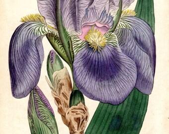 Vintage Botanical Print 1803 Iris Pale Flag Curtis  Vintage Flower Plate 685 Antique Botanical Print