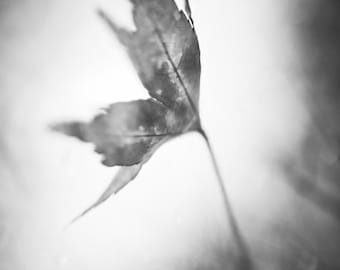 """black and white photography, leaf, autumn, fall time, change, monochromatic wall art - 16x20, 11x14 or 8x10 photograph, """"Grace"""""""