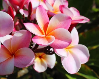Pink Plumeria, Flower, Tropical, Nature, Oceanside, San Diego, Southern California
