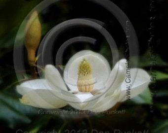 Magnolia Fine Art Print by donPuckett/