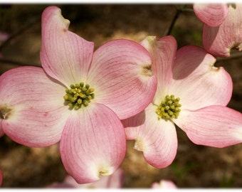 Pink Dogwood Blossoms