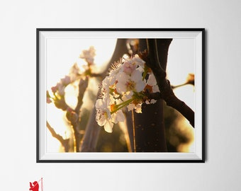 Flower Photography, Nature Art Print 8x10 | Cherry Blossom Sunrise