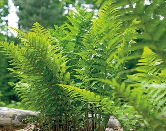 5 lady ferns ,Athyrium filix-femina