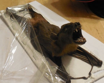 CYNOPTERUS SPHINX Hanging back Real Bat Taxidermy Fast Ship