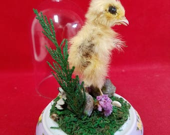 Taxidermy Mummified Baby Quail Glass Dome Display-Bird-chick-Antique Victorian Style-Bird