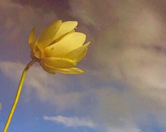 Refuge Lily
