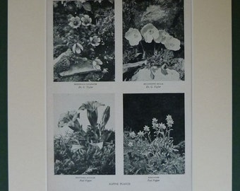 Natural History Print of Alpine Flowers Botanical decor of mountain wildflowers, Available Framed, Floral Art, Antique Mountaineering Gift