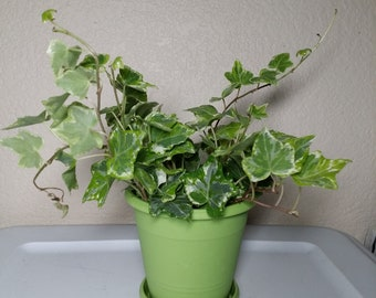 "Live Hedera English Ivy, Trailing Ivy Plant - Comes in 4"" Pot"