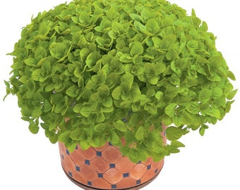 Origanum Vulgare - Organic (3000 SEEDS)