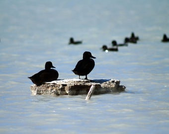 """Ducks on a Smokey Lake - Wildlife Photo Print (8"""" x 6"""")"""