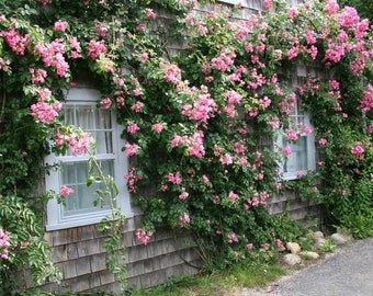 Photo Print - Rose Cottage, Siasconset, Nantucket Island, Shabby Chic Cottage, Cottage of Cape Cod