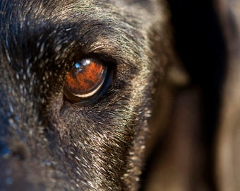 Depth, Dog Photography, Labrador Retriever Fine Art Print or Greeting Card