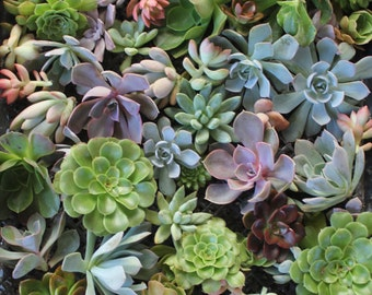 "50 (2-4""inches) ROSETTE Succulent CUTTINGS great for wedding and party FAVORS gifts favors Succulents"