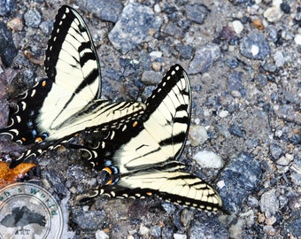 Life Photography | The Tiger Swallowtail | Digital Download