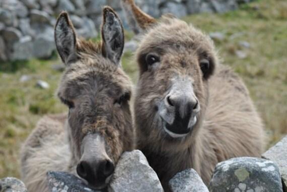 """Ireland Nature Photograph of two Irish Smiling Donkeys 8"""" x 12"""""""