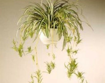 Spider plant (baby)