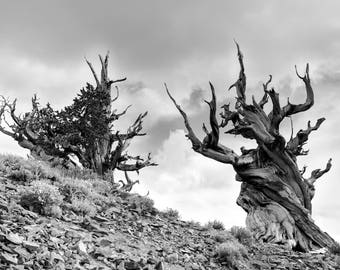 Bristlecone Pines MATTED or PRINTS ONLY Ancient Trees Black White Photograph Print Original Signed Mat Matted