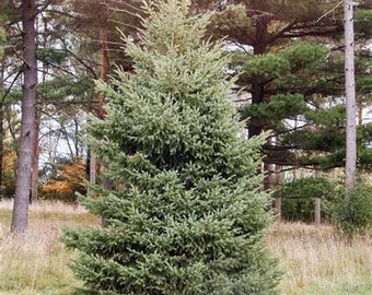 TreesAgain Black Hills Spruce Tree - Picea glauca - 4 to 8+ inches (see state restrictions)