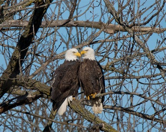 Pair of American Bald Eagles