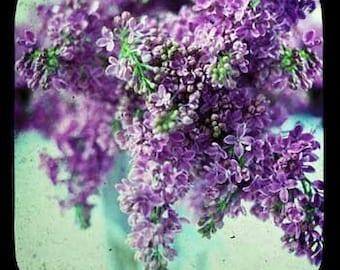 Lilacs Through The Viewfinder Photo Print