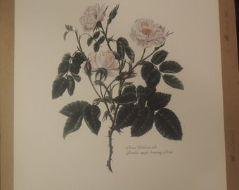 double apple bearing rose art print