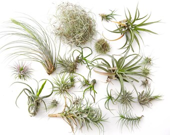 Air Plant Variety Pack 15 pcs **CLEARANCE** Terrarium Plants, Assorted Succulents, Airplant Wholesale Air Plant Bulk Wholesale TiIllandsia