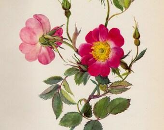 Antique Botanical Pink Rose Flower Print Rose Gallery Wall Art Cottage Decor Rose Art Print Vintage Rose Illustration Flower Print 1330
