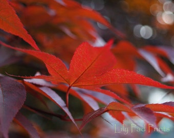Japanese maple leaves blank photo note card