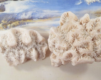 Natural Florida Coral, two pieces, small and and  medium  #154C