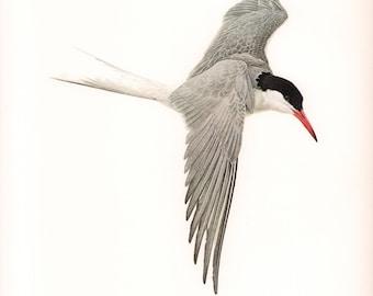 JF Lansdowne Print Book Plate Art, Common Tern