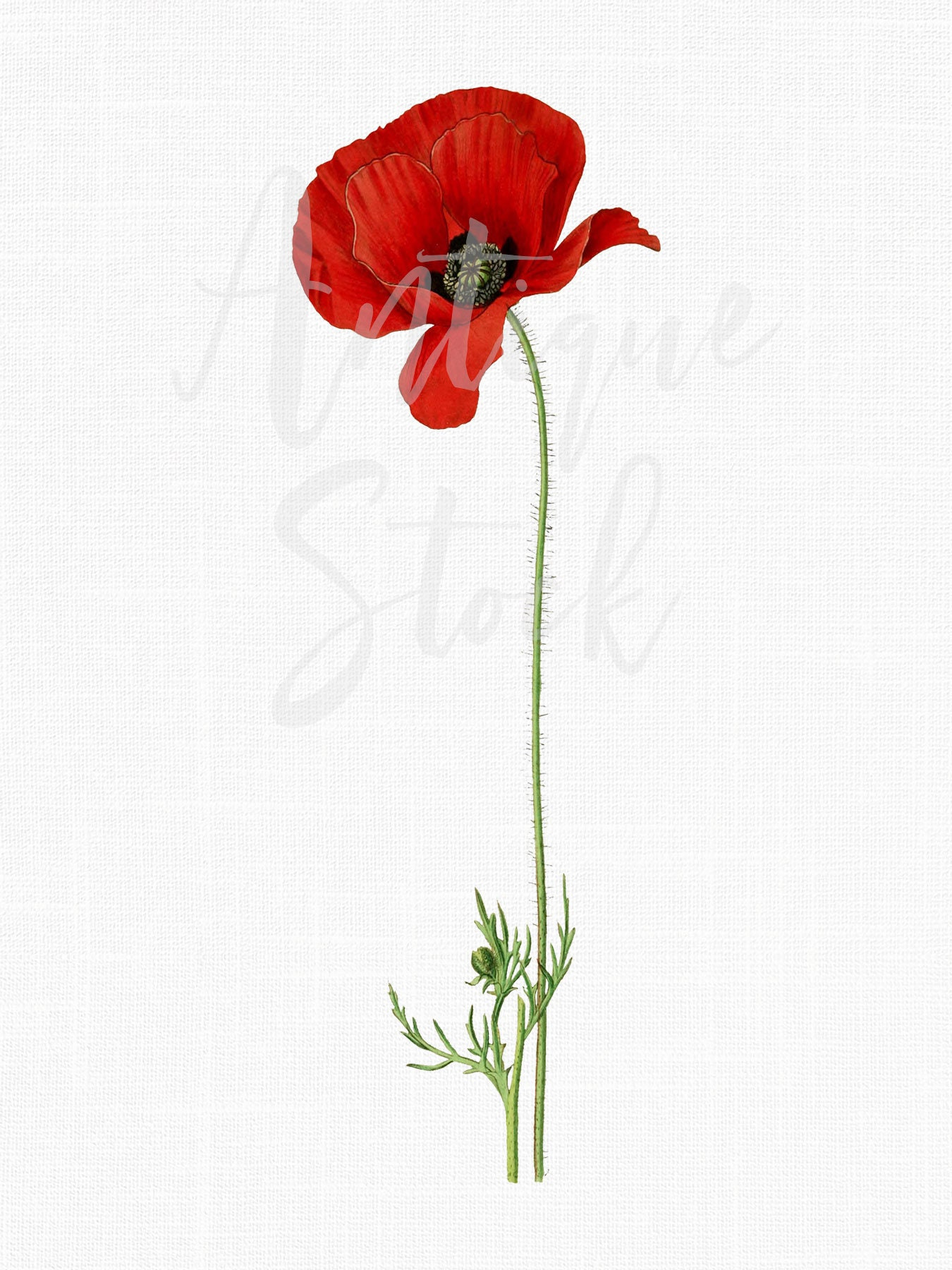 Red Flower Clipart Poppy Flower Vintage Botanical Illustration