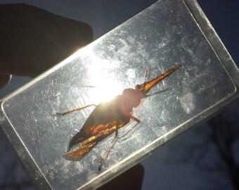 Lanternbug in resin