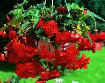 2 Giant Pendula Red Begonia Bulbs 7+cm Great in Hanging basket! shipping April 2018