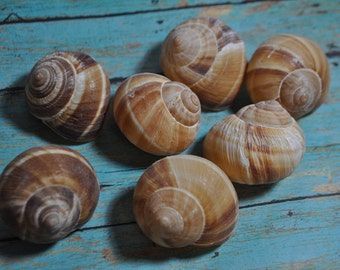 FOUR Real Large Helix Snail Shells