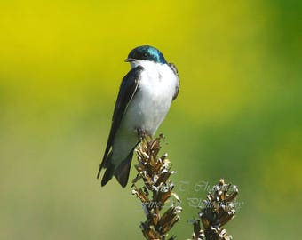 Tree Swallow Perch
