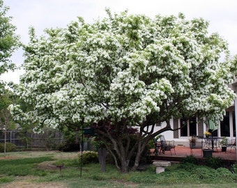 White Fringe Tree Seeds, Chionanthus virginicus - 25 Seeds