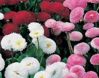 500 Seeds Bellis Pomponette Mix Flower Seeds English Daisy