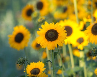 photo note card summer sunflowers photograph  Summer sun New England photography yellow green brown nature photo greeting card