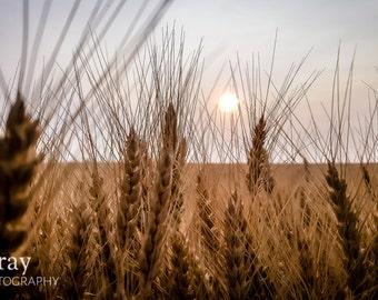 Montana Winter Wheat - PRINT ONLY