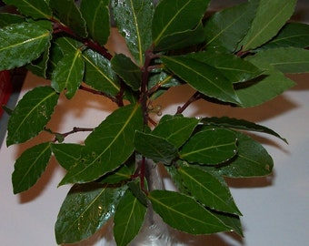 5 Fresh Bay Leaf branches bay leaves for wreaths floral filler decor craft projects natural herbs for cooking 1-2ft branches
