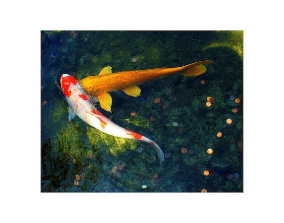 Koi Photography, koi fish photo, koi photo, koi print, koi art, animal photography, fine art photography, fish photography, home decor