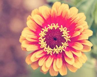 flower photography, nature photograph, square yellow wall art, red wall art, zinnia photo