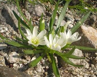 Lewisia nevadensis Nevada lewisia 10 seeds